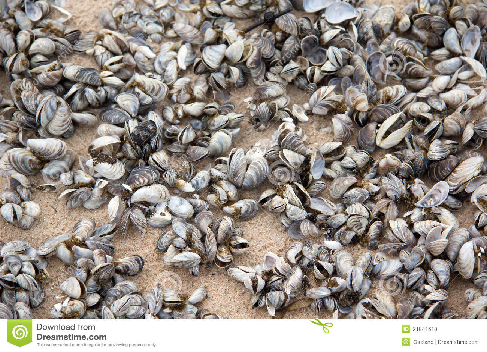 Zebra Mussels Stock Photo