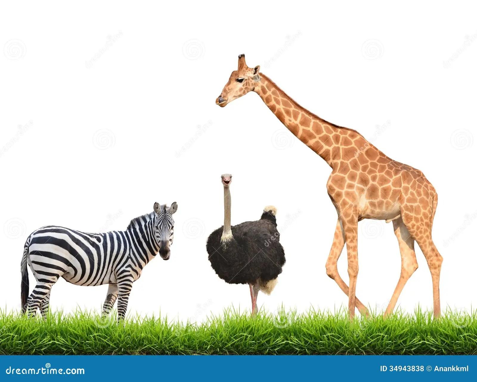 Zebra Ostrich Giraffe With Green Grass Isolated Stock