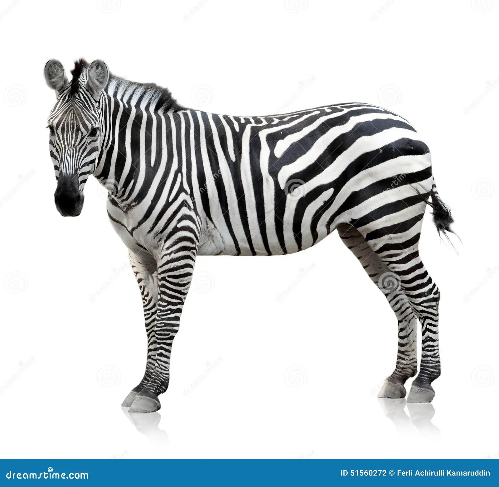 Zebra On White Background Stock Photo