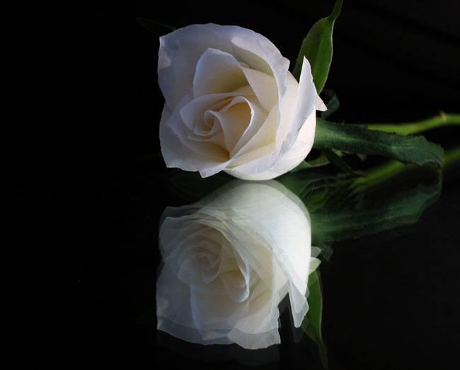 https://i2.wp.com/thumbs.imagekind.com/3024363_650/Single-White-Rose-and-Reflection.jpg