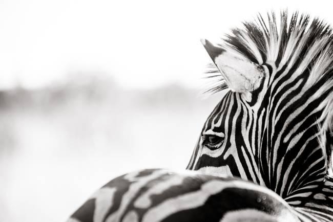 """Stunning """"Abstract Zebra Art"""" Artwork For Sale On Fine Art"""