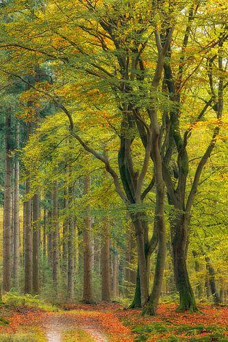 Dansende beukenbomen in de herfst, Veluwe, Nederland