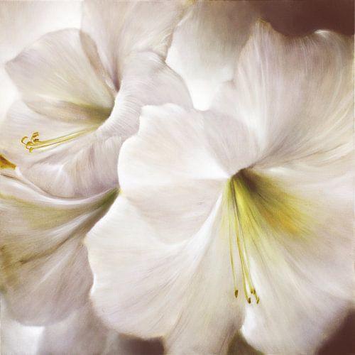 Weiße Amaryllis im Gegenlicht