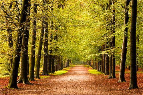 Beukenlaan in herfst bos (Utrechtse Heuvelrug, Nederland)