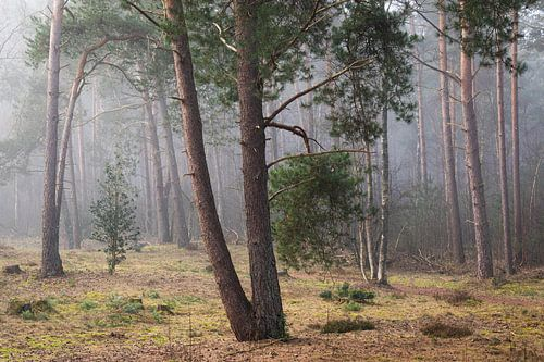 Den in de mist op de Utrechtse Heuvelrug, Nederland