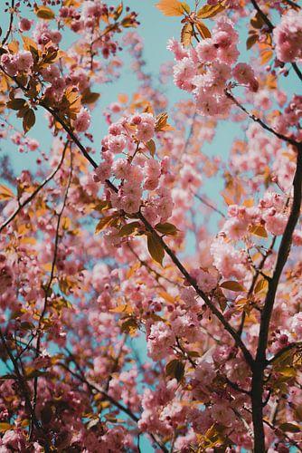 Roze bloesem aan een boom voor een blauwe lucht.