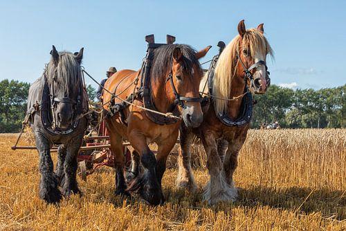 Demonstratie tarwe oogsten met driespan trekpaarden.