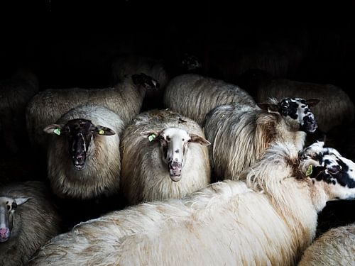 Sheep (colour)