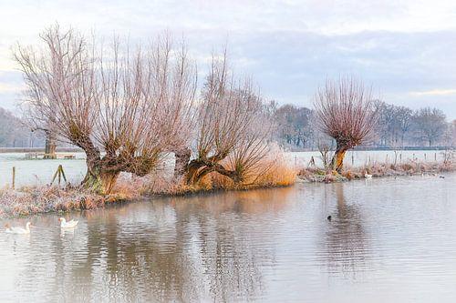 Knotwilgen langs de Kromme Rijn op een koude winterse ochtend.