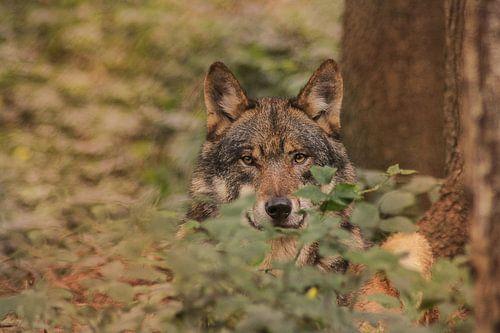 Wolf in het bos