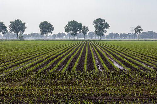 Jonge aanplant van mais