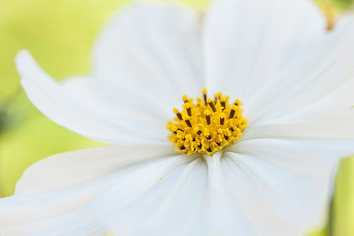 Frisse witte bloem in de tuin close in beeld.