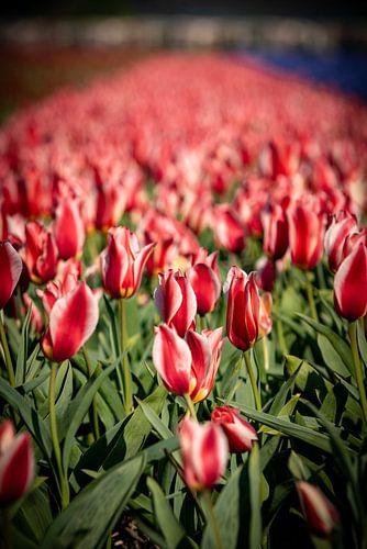 rode tulpen bollenveld in lisse