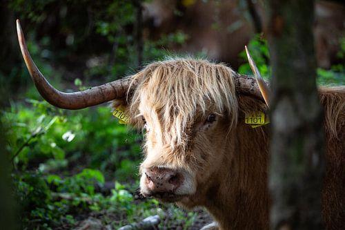 Schote Hooglander in de laaglanden 2