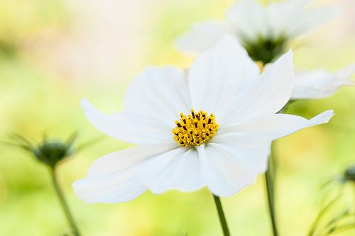 Frisse, witte bloemen in de tuin.