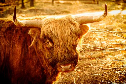 #Schotse Hooglander