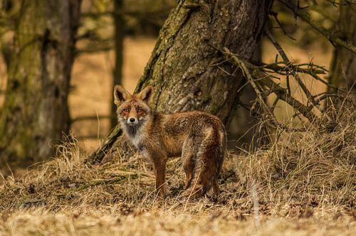 Portret van een vos III
