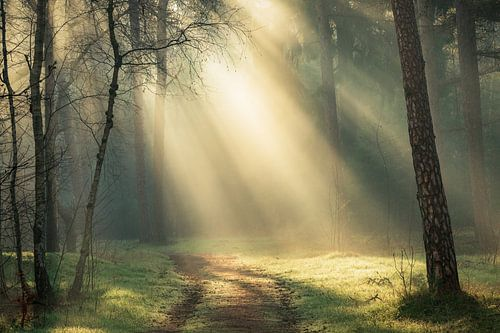 Magische ochtend in de bossen van de Utrechtse Heuvelrug, Nederland