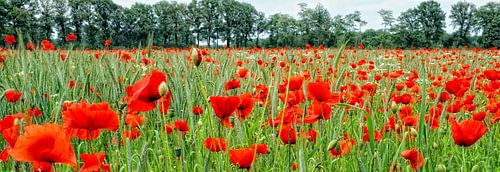 papavers (klaprozen, poppies)
