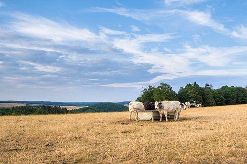 Koeien in het veld