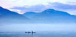 Three Killer whales in mountain landscape at Vancouver Island Royalty Free Stock Photo