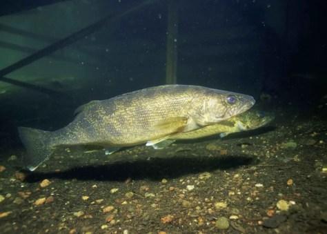Walleye_fishes_underwater_photo_stizostedion_vitreum