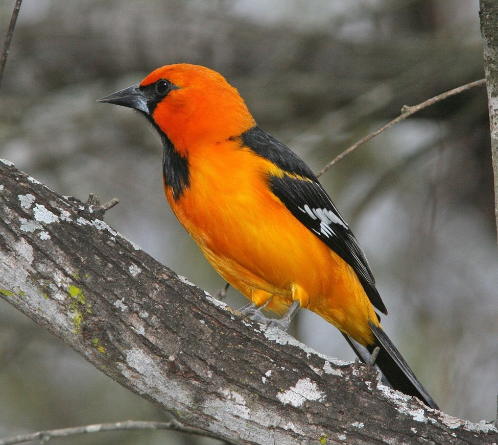 Attract Orioles
