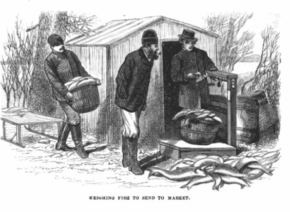 Weighing fish to send to market