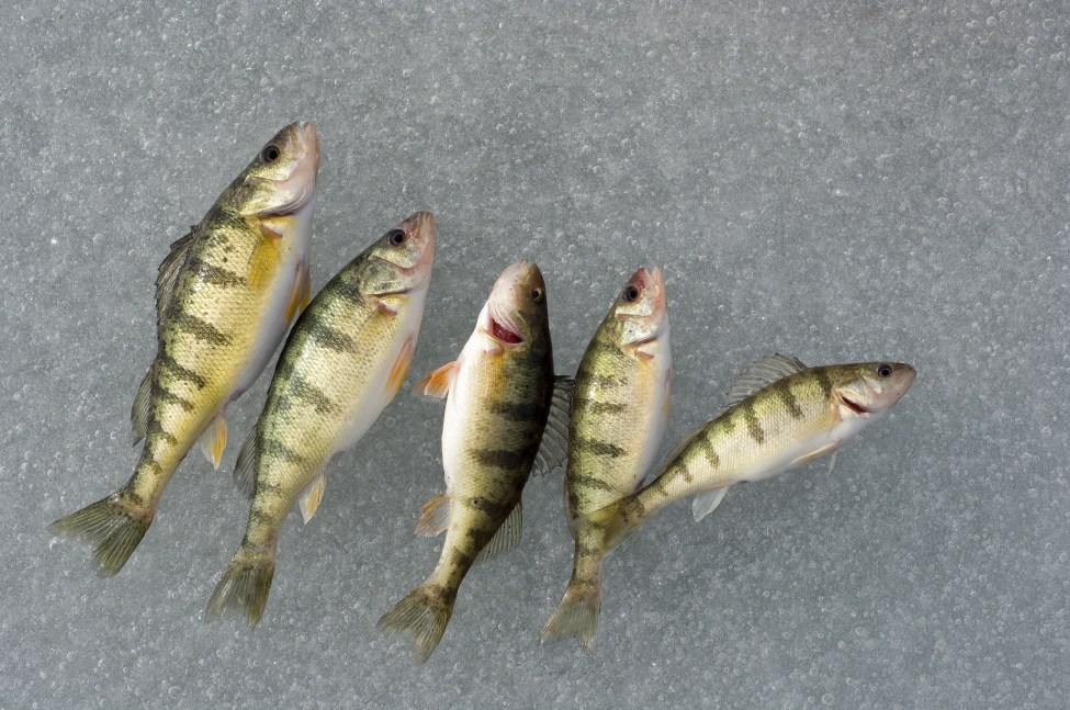 Ice Fishing Feature Image Yellow Perch