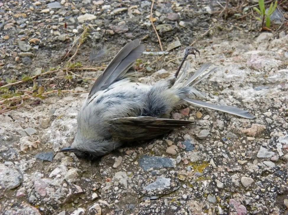 Dead Bird - Michigan bird Feeders