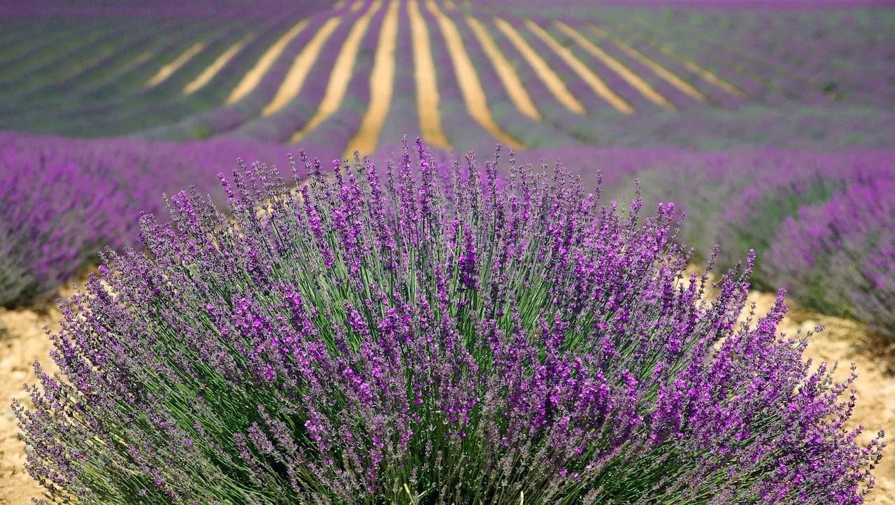 Lavender Farming