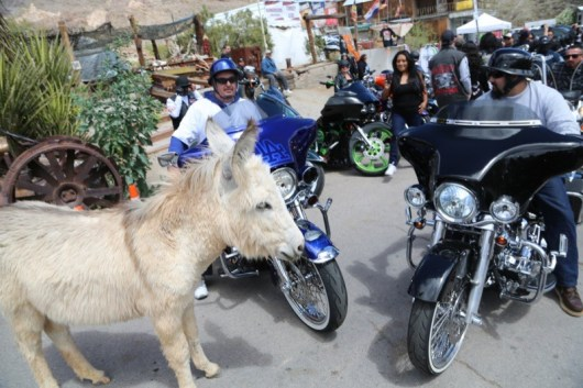 Squaring off with a stubborn burro on Main Street in Oatman