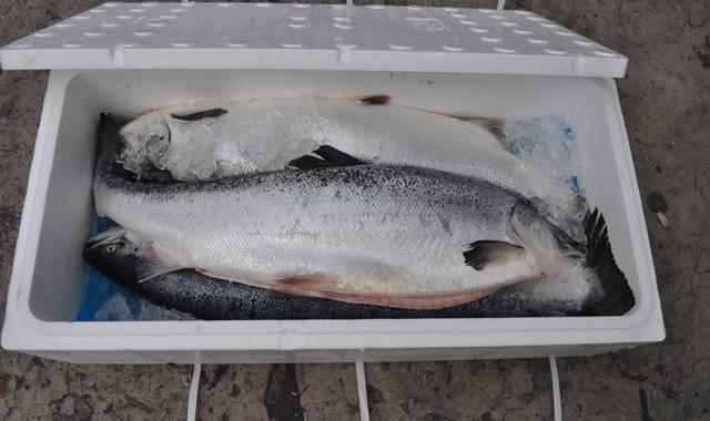 Thùng xốp đựng cá, cá hồi, cá đông lạnh