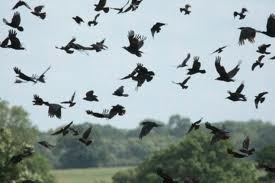 murder of crows or ravens