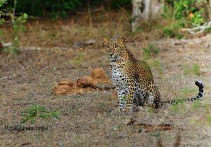 ayoung leopard -YALA