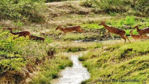 deer crossing stream