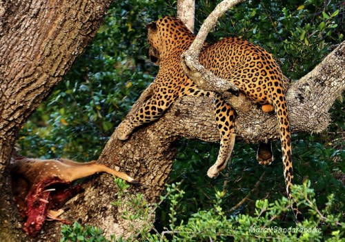 leopard appraises his kill