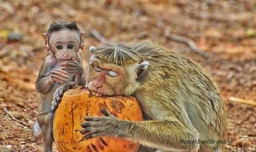 monkeyiga round-polonnaruwa