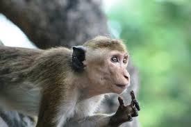 rogue monkey