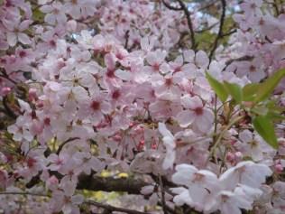 Cherry Blossoms 2 - m