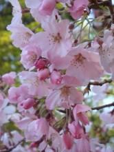 Cherry Blossoms - m