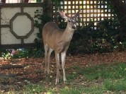 deer-in-berkeley-7-29-2016-m
