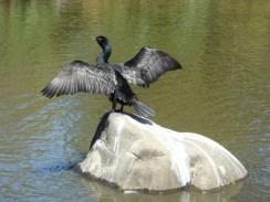 Double Crested Cormorant - m