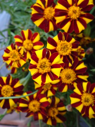 Jolly Jester Marigolds - m