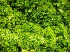 Lettuce - m