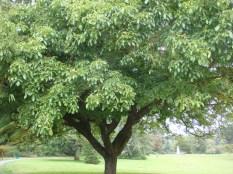 Medusa Tree - Walnut Tree in Bloom - m