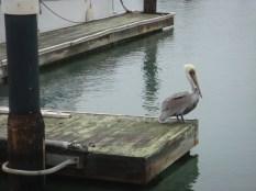 Pelican - m
