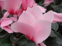 Pink Cyclamen 2 - m