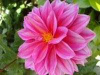 Pink Dahlia - m
