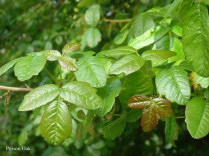 Poison Oak - m
